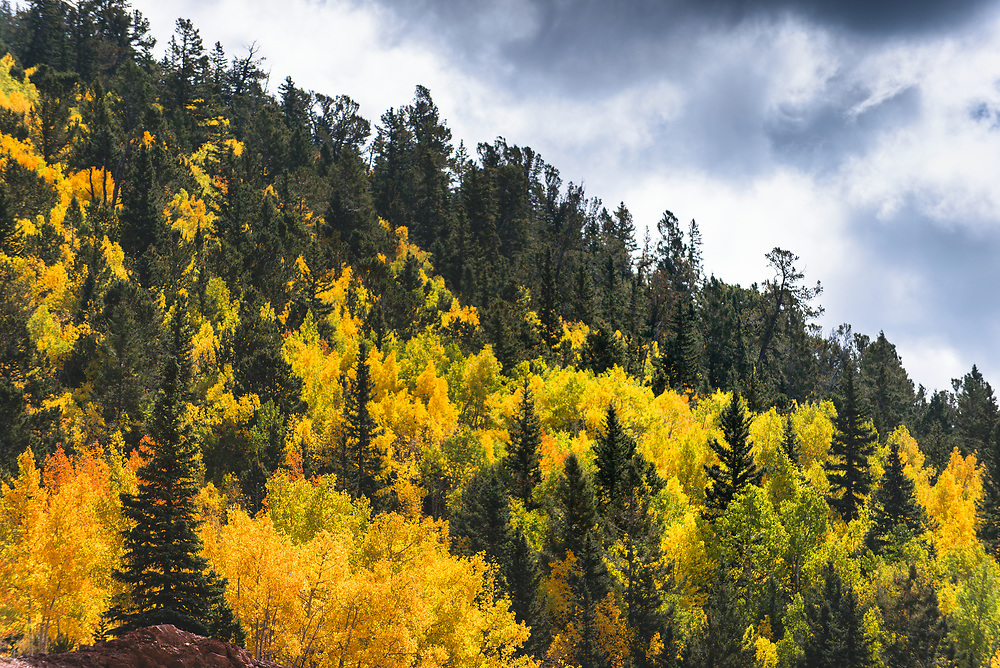 Apsen trees changing color in Colorado in between pine trees