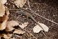 TEXAS SPOTTED WHIPTAIL LIZARD