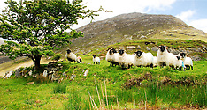Mayo Sheep Group Images