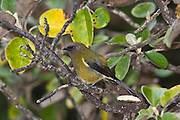 Bellbird, Ulva Island, New Zealand
