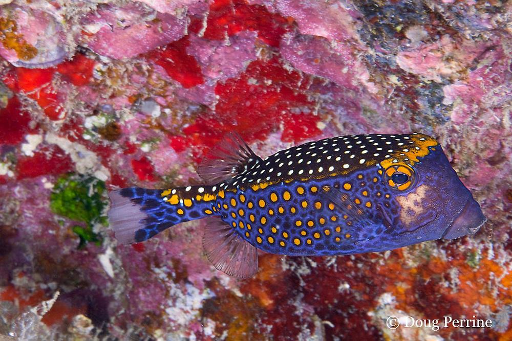 male spotted boxfish, Ostracion meleagris camurum, Kaloko Arches, Kona, Hawaii ( Central Pacific Ocean )