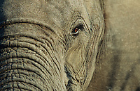 Close-up of African Elephant (Loxodonta africana) selective focus