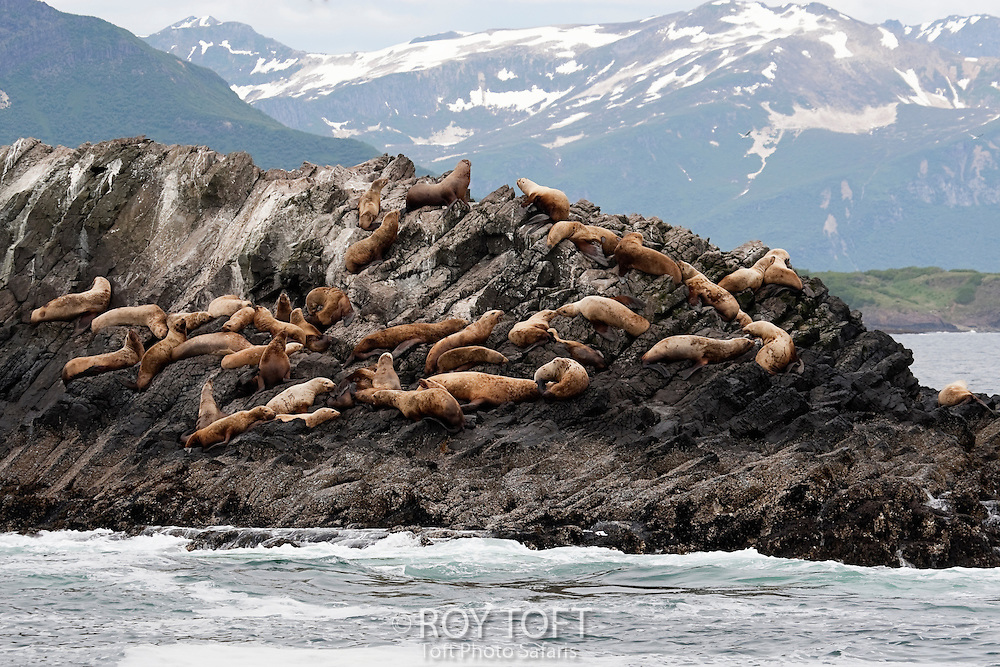 Group of harbor seals resting, Geographic Harbor, Katmai National Park, Alaska