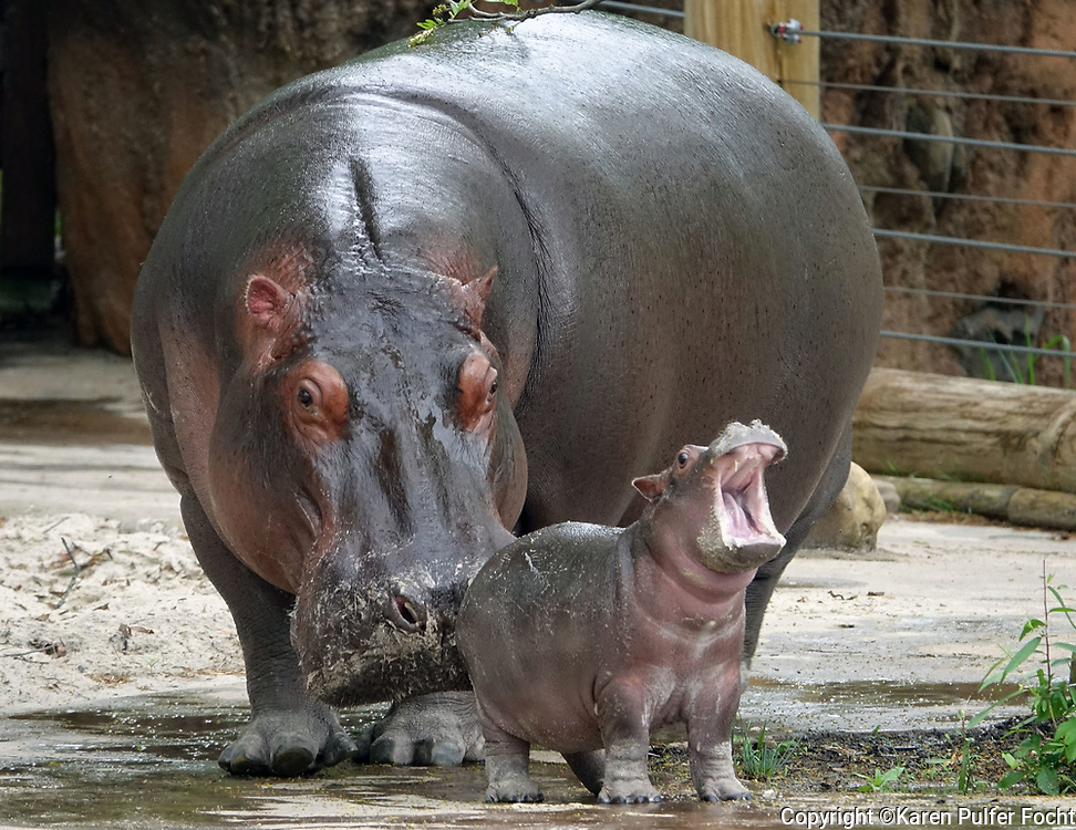"Winnie and her mom, Binti are on exhibit at the Memphis Zoo. Winnie was born on March 23, 2017. Winnie weighed 76 pounds at birth. Her father is first for father, ""Uzazi."""