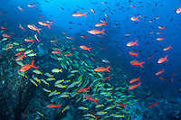 Creolefish and Snappers schooling by the hundreds <br /> <br /> <br /> Shot at Cocos Island, Costa Rica