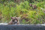 A soaked sow in the river while her cubs look on - Katmai, Alaska