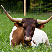 Texas Longhorn cattle in long green grass.