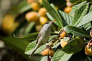 Eurasian Blackcap (Sylvia atricapilla) eating Loquat fruit, hefer valley, israel