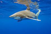 An endangered Oceanic White-tip Shark, Carcharhinus longimanus, swims offshore Cat Island, Bahamas, Atlantic Ocean.