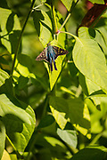 Long-tailed skipper, Urbanus proteus, shrimp plant, Kleb Wood Nature Park, Tomball, Texas