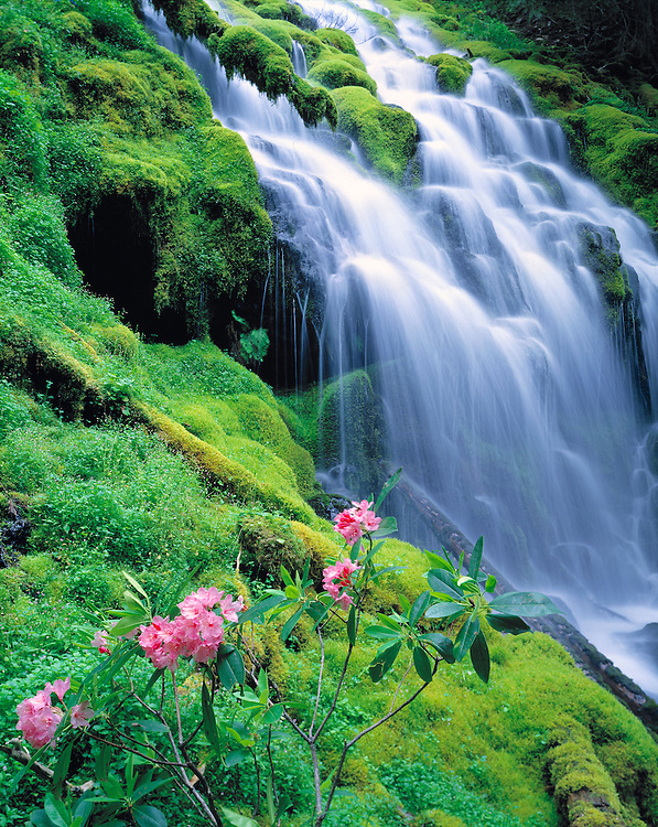 Pink rhododendron adorn Proxy Falls in the Cascades Range in Oregon. ©Ric Ergenbright