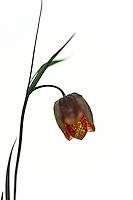 Checkered Lily (Fritillaria tendia), Forca Canapine/Sibillini National Park, Italy; WWoE Mission