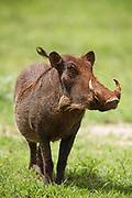 Warthog female