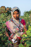 Fairtrade cotton farm labourer Sapna Mandloi, 20, picks cotton in Narendra Patidar's farm in Karhi, Khargone, Madhya Pradesh, India on 12 November 2014. She earns 5 rupees per kilogram and can pick up to 40kg per day. Photo by Suzanne Lee for Fairtrade