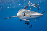 A Blue Shark, Prionace glauca, swims accompanied by Pilot Fish, Naucrates ductor, in the Azores Bank offshore Pico Island, Azores, a Portuguese archipelago in the North Atlantic.