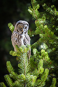 Owl in Yellowstone National Park.