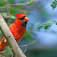 A Cardinal at Fairchild Gardens, Miami, FL.