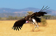 Lappet Faced Vulture in flight at Grumeti, Tanzania, East Africa -  RESERVED USE