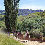 Horse trekking with Paradise Valley Ventures Horse Riding near Rotorua.  Paradise Valley Ventures Horse Riding is set on 700 acres of New Zealand pasture, a working farm with sheep and cattle. Paradise Valley, Rotorua, New Zealand.  New Zealand. 10th December 2010. Photo Tim Clayton