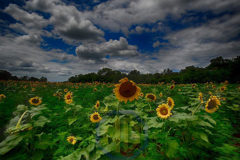 25 July 2017:  A 30 acre field of sunflowers on July 25, 2017 in Poolesville, MD at the McKee Beshers Wildlife Preserver.  (Photograph by Mark Goldman/Goldminephotos)