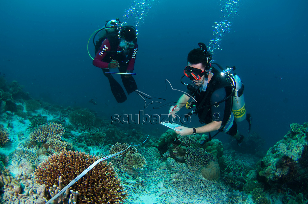 Divers measuring Hard Coral, Acropora sp., Angsana Maldives Ihuru, North Male Atoll, The Maldives