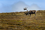 Wildlife photographs of from Denali National Park of The Alaska Range, AK