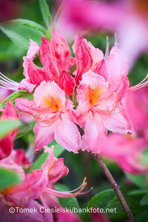 Rhododendron `Strawberry Ice`