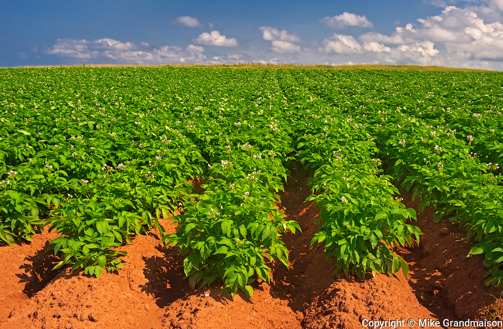 Potatoes and red soil, Cape Tryon, Prince Edward Island, Canada