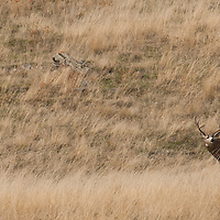trophy mule deer buck on hill fall tall grass