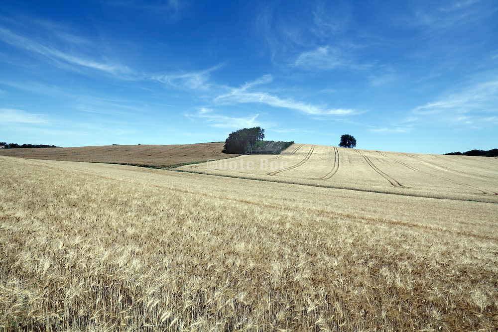 large field with ripened wheat France Languedoc Aude