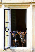 Black and tan Jack Russell terrier puppies sitting at a window, England, United Kingdom