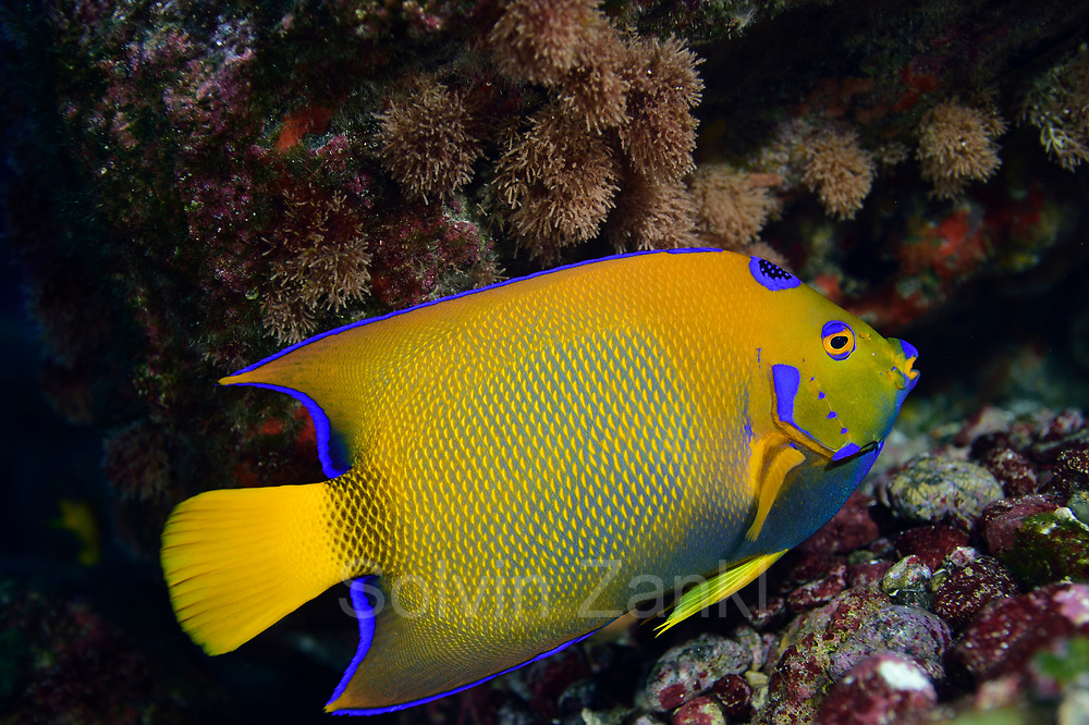 Queen angelfish, (Holacanthus ciliaris) Central equatorial Atlantic Ocean, Saint Peter and Saint Paul Archipelago, Brazil #STP17 [first published through bioGraphic, a program of the California Academy of Sciences] |