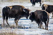 Bison graze on a frosty morning in Grand Teton National Park, Wyoming, USA.