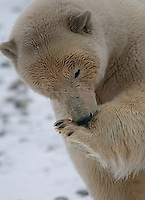 Polar bear (Ursus maritimus) cleaning paws after meal, Svalbard, Norway.