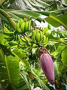 Banana, Omao, Fatu Hiva, Marquesas, French Polynesia, South Pacific