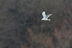 Ring-billed Gull in flight