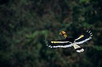 Great Hornbill (Buceros bicornis) male in flight.  Khao Yai N.P., Thailand...IUCN Red List: Near Threatened
