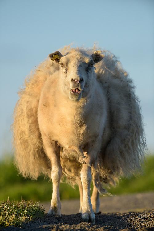 Icelandic sheep, Flatey, Iceland