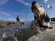 """English Setter Welpe """"Rudy"""" schwimmt am 11.06. 2017 im Teich von Stara Lysa, (Tschechische Republik), beobachtet von seiner besten Freundin.  Rudy wurde Anfang Januar 2017 geboren und ist vor einiger Zeit zu seiner neuen Familie umgezogen."""