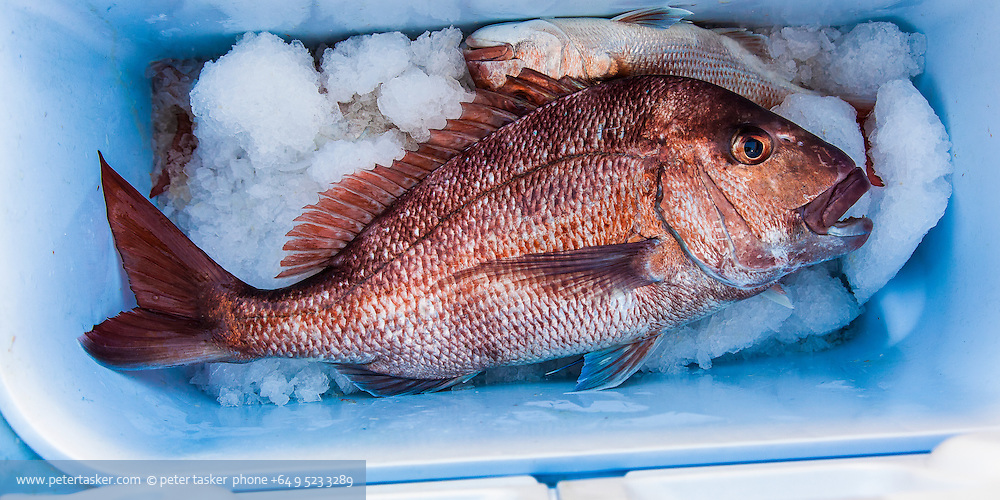 Large snapper in chilly bin with ice. Hauraki Gulf fishing with John.
