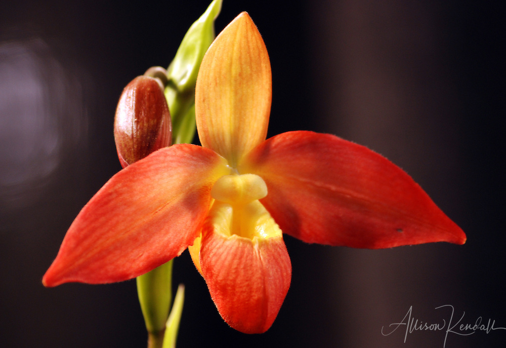 Sunset red orange and yellow colors paint the vivid petals of an orchid flower.
