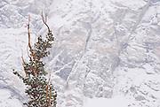 Tree against snow covered cliff at Gem Lake, John Muir Wilderness, Sierra Nevada Mountains, California
