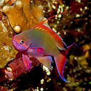 Scalefin Anthias inhabit reefs. Picture taken Fiji.