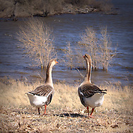 Geese walking together