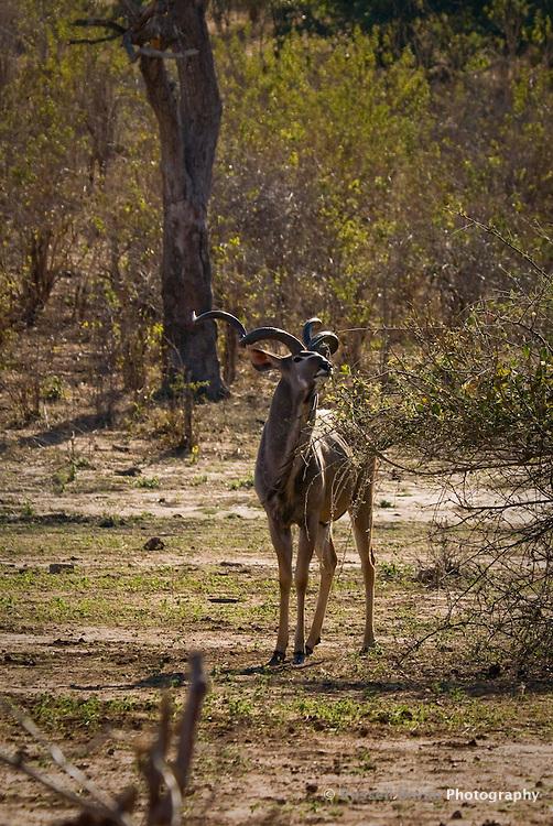 A lone male Kudu in Chobe National Park, Botswana