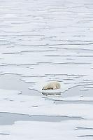 A Polar Bear (Ursus maritimus) relaxes on pack ice in Storfjorden.  Storfjorden, Svalbard, Norway.