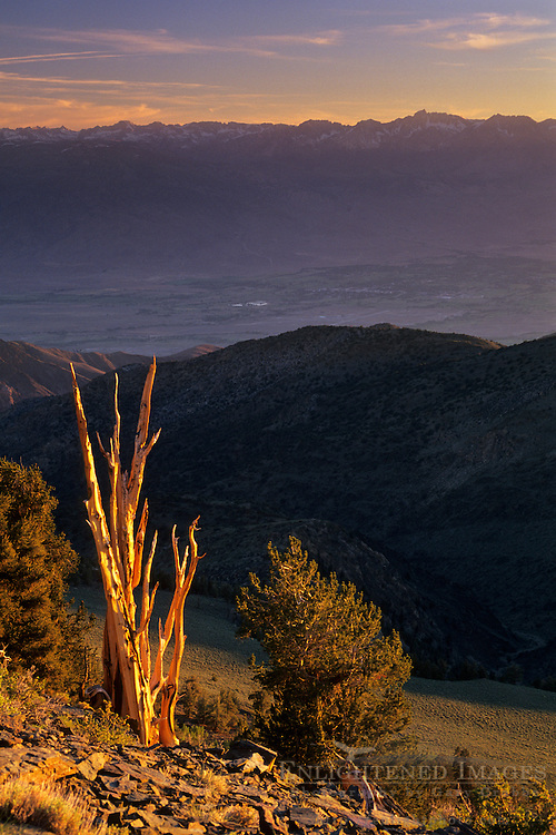 Bristlecone Pine at sunset, (Sierra in bckgrnd) Ancient Bristlecone Pine Forest White Mountains, CALIFORNIA