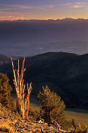 Bristlecone Pine at sunset, (Sierra in bckgrnd) Ancient Bristlecone Pine Forest White Mountains, CALIFORNIA