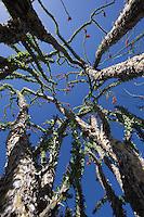 Ocotillo, Big Bend National Park, Texas ( Fouquieria splendens).