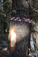 Photo Randy Vanderveen.south of Grande Prairie.The striped ribbon indicates a standing peel. The tree will be left standing if it is infected by less than 10 beetles.